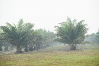 EIne Palmölplantage auf Borneo