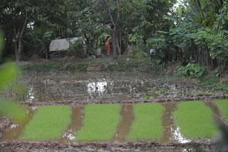 Reissetzlinge / Reis - Cambodia