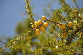 Die reifen Arganfrüchte / Argan-Öl - Marokko