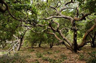 Organische Cashew - Bäume / Cashew -Tansania