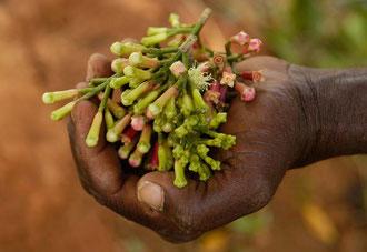 Organische Nelken in Sansibar / Gewürze - Sansibar