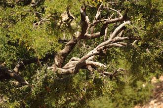 Arganbäume erreichen ein Alter bis zu 400 Jahren / Argan-Öl - Marokko