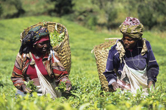 Teepflückerinnen in der Usambara-Bergen bei Herkulu / Tee - Tansania