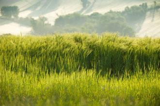 Gerstenfelder in den Morgenstunden / Gerste - Italien
