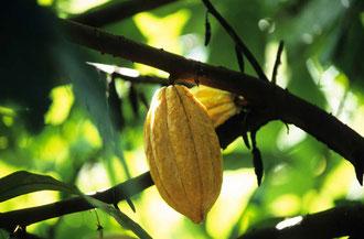 Reife Kakaofrucht / Kakao - Dominikanische Republik