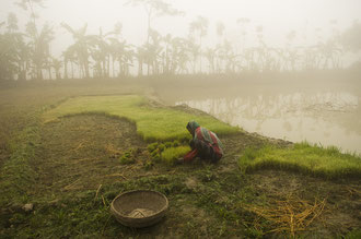 Ausbringen der Setzlinge / Reis - Bangladesh