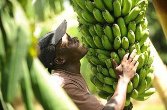 """Uganda: Bananenstauden in einer """"Biologisch- Dynamisch"""" zertifizierten Kultur in Uganda / Bananen - Uganda"""