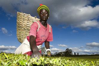 Teepflückerin bei Luponde / Tee - Tansania