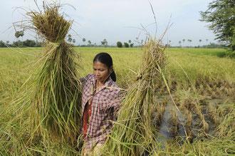 Bio Reisbäuerin / Reis - Cambodia