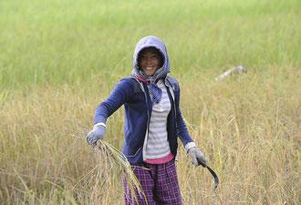 Reisernte / Reis - Kambodscha