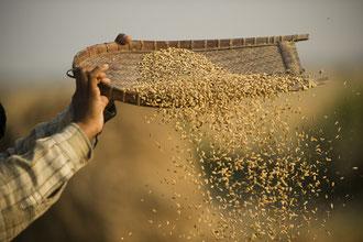 Kleinbauer verarbeitet Reis weiter / Reis - Bangladesh