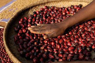 Trocknen von Muskatnüssen in Sansibar / Gewürze - Sansibar