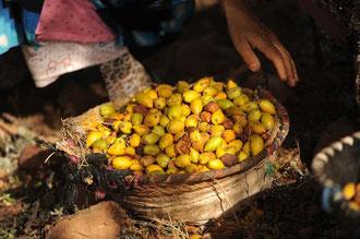 Geerntete Argan - Früchte / Argan-Öl - Marokko