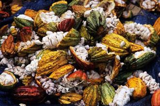Geöffnete Kakaofrüchte / Kakao - Dominikanische Republik