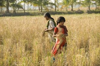 Kinder helfen bei der Reisernte / Reis - Bangladesh