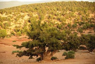 Eine weltweit, einzigartige Kulturlandschaft - Arganbäume südlich von Essaouira / Argan-Öl - Marokko