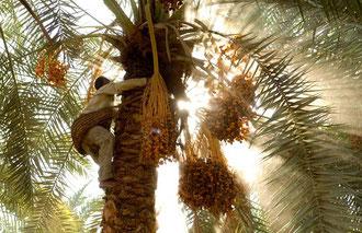 """Dattelernte in der """"Schwarzen Wüste"""" / Datteln - Ägypten"""
