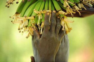 """Uganda: Junge Bananenstauden in einer """"Biologisch- Dynamisch"""" zertifizierten Kultur in Uganda / Bananen - Uganda"""