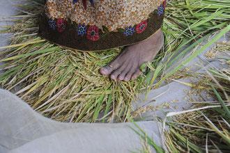 Schonendes dreschen mit den Füßen / Reis - Kambodscha