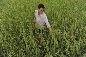 """Bio – Reis – Anbau mit """"know how"""" und Leidenschaft / Reis - Kambodscha"""