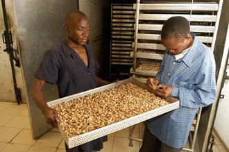 Nach der Sortierung werden die Kerne geröstet / Cashew -Tansania