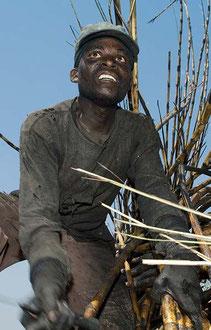 Saisonarbeiter aus Mosambik ernten Zuckerrohr unter Sklavenähnlichen Bedingungen im Süden Malawis / Zucker - Malawi