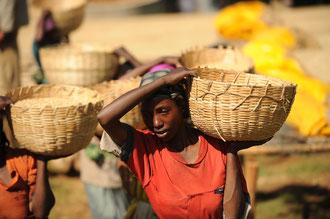 Trocknen der Kaffeebohnen: Ein enormer Arbeitsaufwand, höchste Qualität für den Export und immer noch zu niedrige Preise.. / Kaffee - Äthiopien