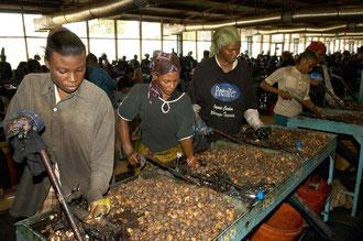 Frauen übernehmen die Harte Arbeit - das knacken der Nüsse / Cashew -Tansania