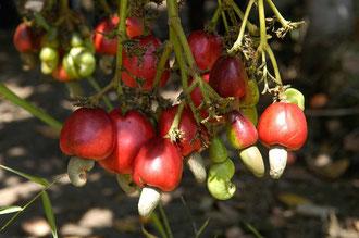 Die Cashew - Frucht kurz vor der Ernte / Cashew -Tansania