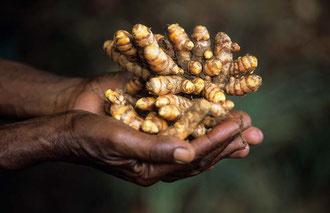 Organischer Ingwer aus Uganda / Gewürze - Sansibar