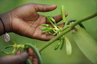 Bio-dynamisch angebaute Vanille in Uganda / Gewürze - Sansibar