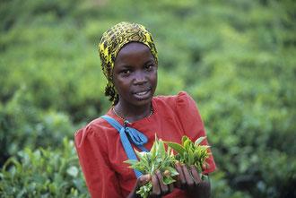 Teepflückerin mit Teeblättern / Tee - Tansania