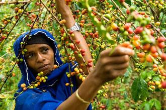 Wald - Kaffee - Ernte bei der OCFCU: Ein enormer Arbeitsaufwand, höchste Qualität für den Export und immer noch zu niedrige Preise.. / Kaffee - Äthiopien