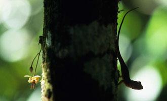 Kakaoblüte und Echse / Kakao - Dominikanische Republik