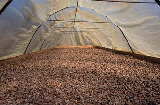 Trocknen der Kakaobohnen / Kakao - Dominikanische Republik