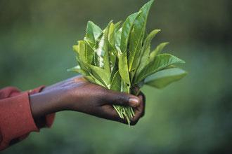 Teeblätter / Tee - Tansania