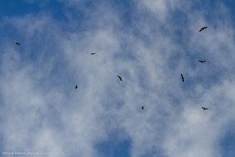 Un pezzo del grande gruppo di Grifoni - Parco Nazionale del Pollino