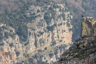 Grifone - Parco Nazionale del Pollino