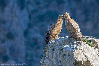 Grifoni teneri - Parco Nazionale del Pollino