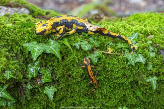 Salamandra Pezzata - s. s. gigliolii e larva