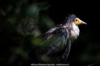 Capovaccaio - Basilicata - Neophron percnopterus