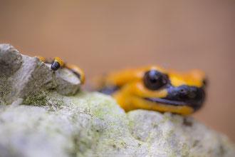 Salamandra Pezzata - s. s. gigliolii