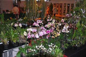 les Phalaenopsis de l'Orchidium