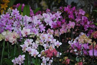 les Phaleonopsis de Extrême Flora