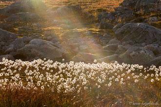 Wollgras, Strynfjellet