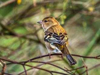 Buchfink (Weibchen)