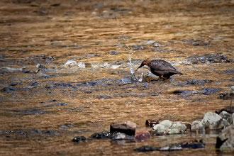 Früher Vogel fängt den Wurm (Wasseramsel)
