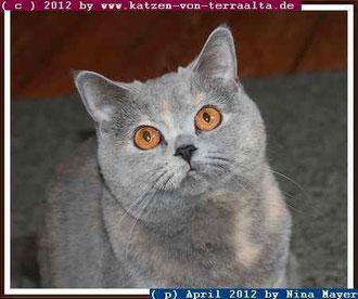 05/12, Ch. Beru Whitesun von Terra Alta, BKH, blue-tortie, weiblich, geb.: 01/11
