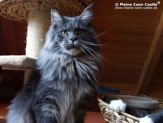 Int. Ch. Buddy of Maine Coon Castle, blue-tb-cl, 14.10.12, männlic