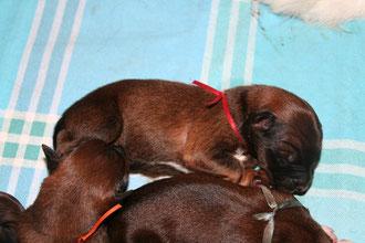 3 Jungs: Rot (oben) ist der Erstgeborene, Orange (links) kam als 5. Welpe und Hellblau (unten) war der Letztgeborene.